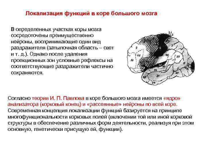 Локализация функций в коре большого мозга В определенных участках коры мозга сосредоточены преимущественно нейроны,