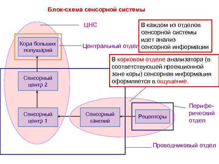 Блок-схема сенсорной системы ЦНС Кора больших полушарий Сенсорный центр 2 Сенсорный центр 1 В