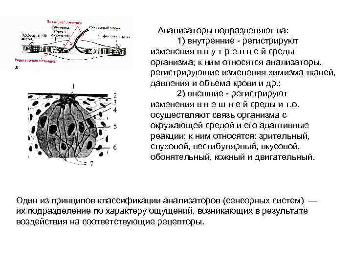 Анализаторы подразделяют на: 1) внутренние - регистрируют изменения в н у т р