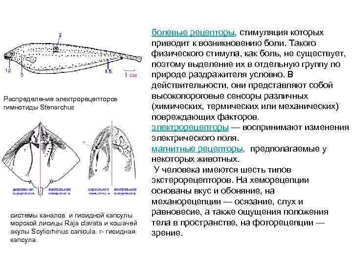 Распределение электрорецепторов гимнотиды Stenarchus системы каналов и гиоидной капсулы морской лисицы Raja clavata и