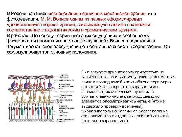 В России начались исследования первичных механизмов зрения, или фоторецепции. М. М. Воинов одним из