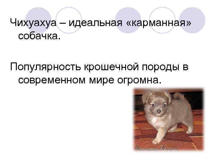 Чихуахуа – идеальная «карманная» собачка. Популярность крошечной породы в современном мире огромна.