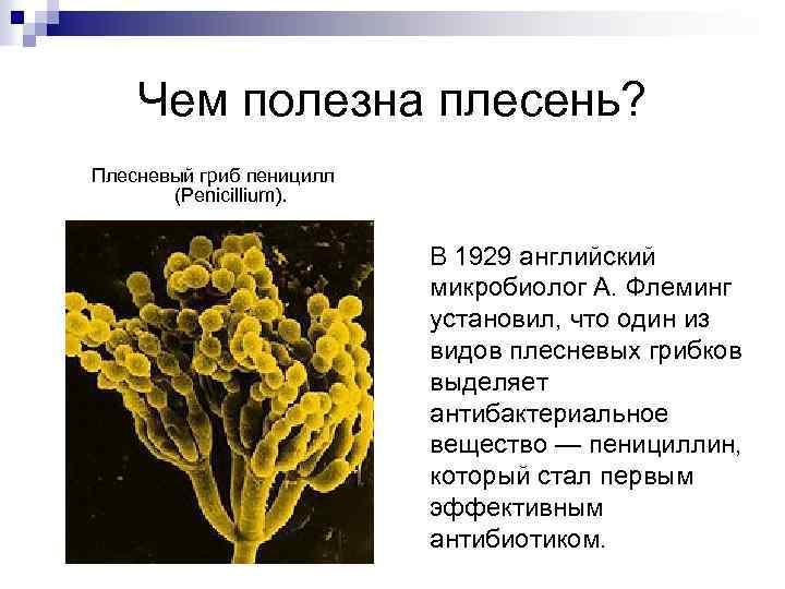 Чем полезна плесень? Плесневый гриб пеницилл (Penicillium). В 1929 английский микробиолог А. Флеминг установил,