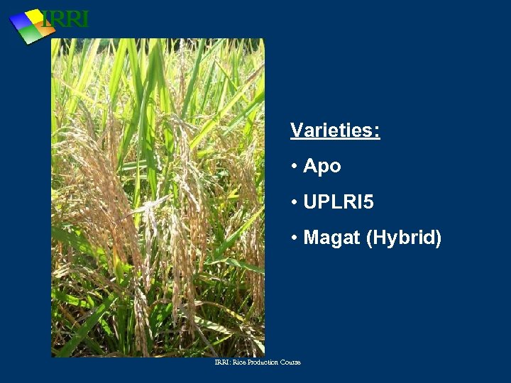 Varieties: • Apo • UPLRI 5 • Magat (Hybrid) IRRI: Rice Production Course