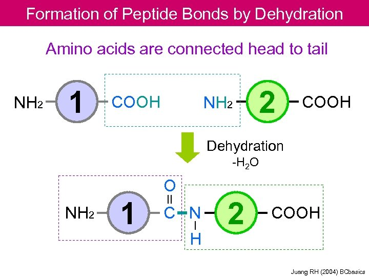 Formation of Peptide Bonds by Dehydration Amino acids are connected head to tail NH