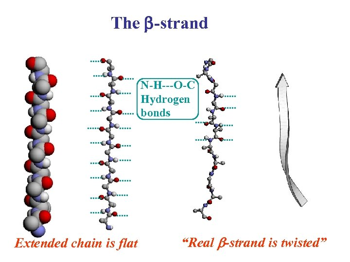 "The b-strand N-H---O-C Hydrogen bonds Extended chain is flat ""Real b-strand is twisted"""