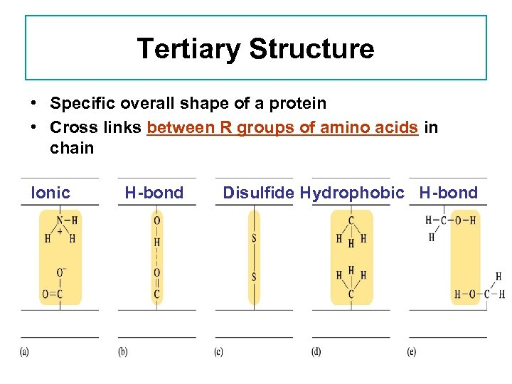 Tertiary Structure • Specific overall shape of a protein • Cross links between R