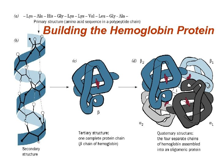 Building the Hemoglobin Protein