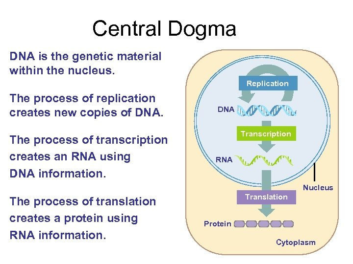 Central Dogma DNA is the genetic material within the nucleus. Replication The process of