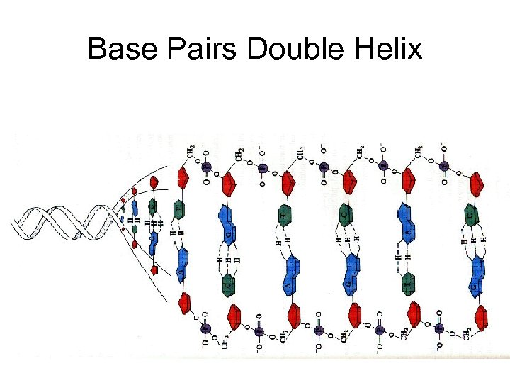 Base Pairs Double Helix