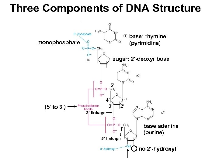 Three Components of DNA Structure base: thymine (pyrimidine) monophosphate sugar: 2'-deoxyribose 5' 4' 3'