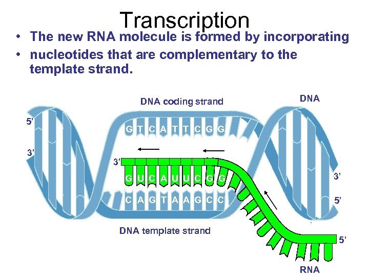 Transcription • The new RNA molecule is formed by incorporating • nucleotides that are