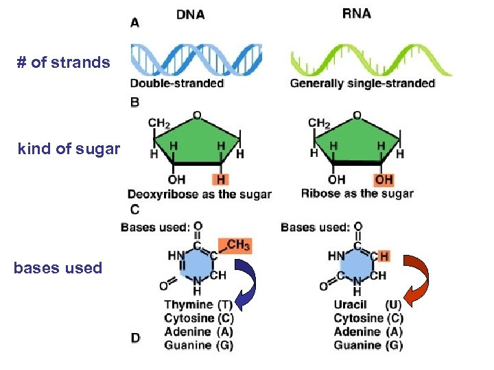 # of strands kind of sugar bases used