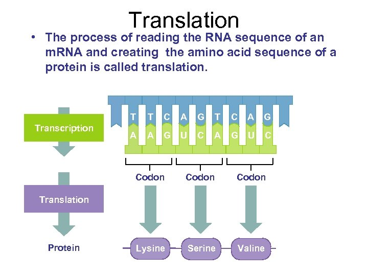 Translation • The process of reading the RNA sequence of an m. RNA and