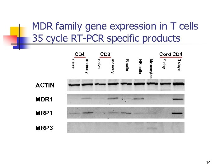 MDR family gene expression in T cells 35 cycle RT-PCR specific products CD 4