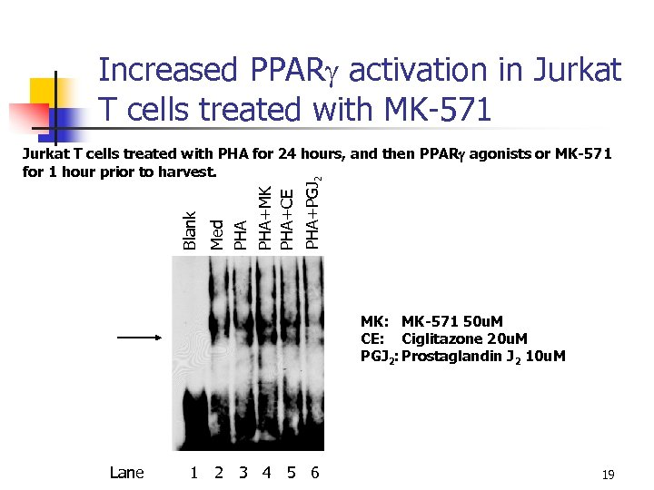 Increased PPARg activation in Jurkat T cells treated with MK-571 PHA+PGJ 2 Med PHA+MK