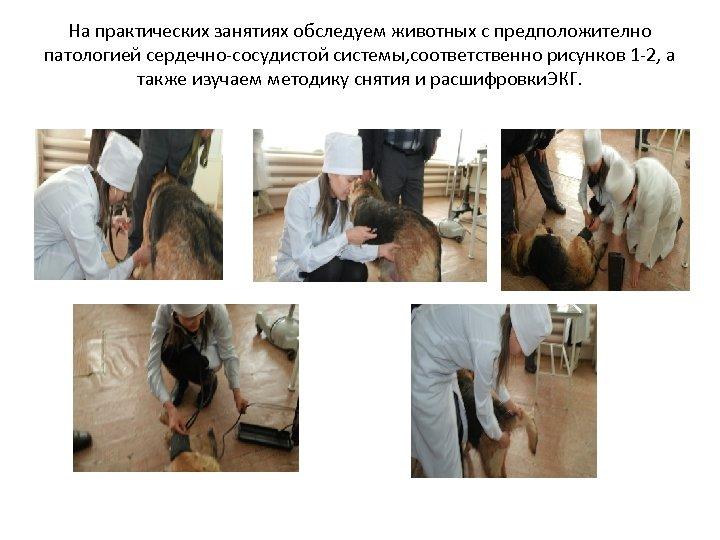 На практических занятиях обследуем животных с предположително патологией сердечно-сосудистой системы, соответственно рисунков 1 -2,