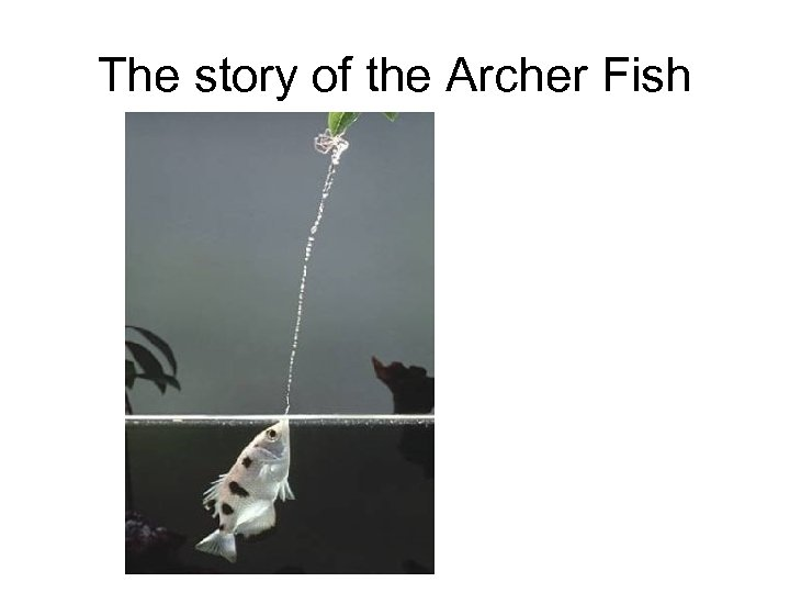 The story of the Archer Fish