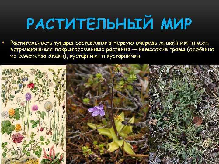 РАСТИТЕЛЬНЫЙ МИР • Растительность тундры составляют в первую очередь лишайники и мхи; встречающиеся покрытосеменные