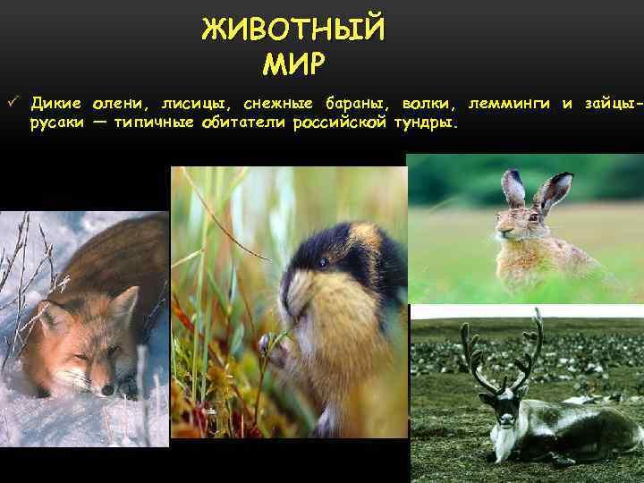 ЖИВОТНЫЙ МИР ü Дикие олени, лисицы, снежные бараны, волки, лемминги и зайцырусаки — типичные