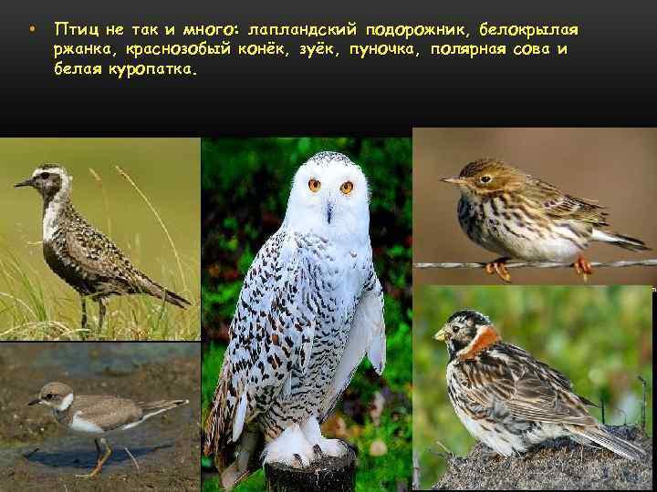 • Птиц не так и много: лапландский подорожник, белокрылая ржанка, краснозобый конёк, зуёк,