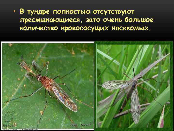 • В тундре полностью отсутствуют пресмыкающиеся, зато очень большое количество кровососущих насекомых.