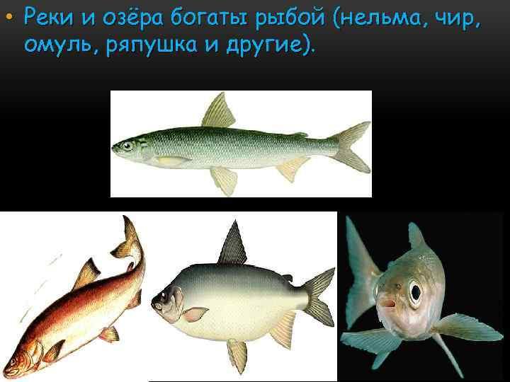 • Реки и озёра богаты рыбой (нельма, чир, омуль, ряпушка и другие).