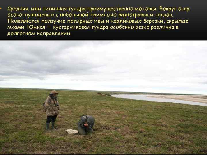 • Средняя, или типичная тундра преимущественно моховая. Вокруг озер осоко-пушицевые с небольшой примесью