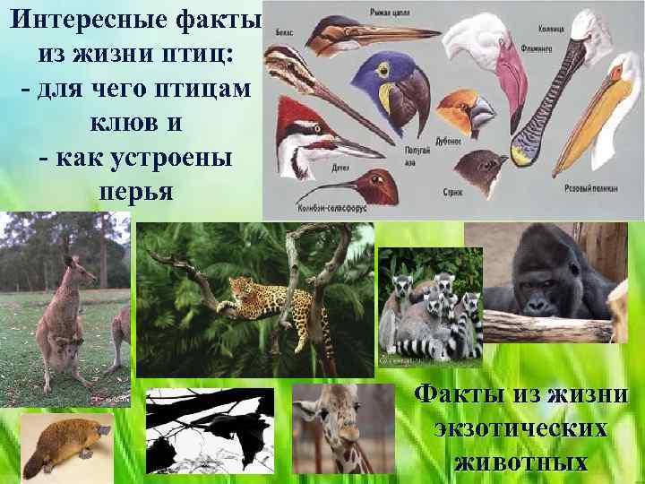 Интересные факты из жизни птиц: - для чего птицам клюв и - как устроены