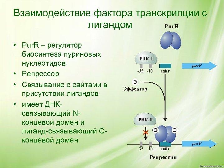 Взаимодействие фактора транскрипции с лигандом • Pur. R – регулятор биосинтеза пуриновых нуклеотидов •