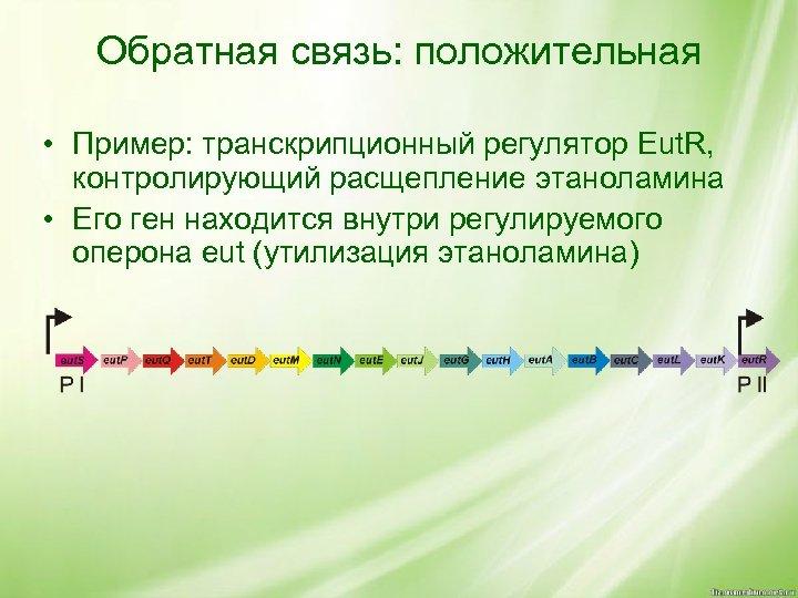 Обратная связь: положительная • Пример: транскрипционный регулятор Eut. R, контролирующий расщепление этаноламина • Его