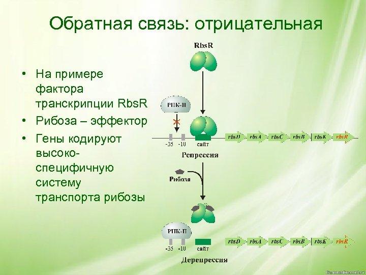 Обратная связь: отрицательная • На примере фактора транскрипции Rbs. R • Рибоза – эффектор