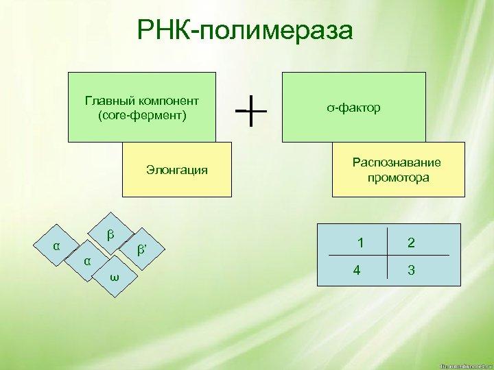 РНК-полимераза Главный компонент (core-фермент) Элонгация β α β' α ω σ-фактор Распознавание промотора 1