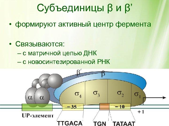 Субъединицы β и β' • формируют активный центр фермента • Связываются: – с матричной