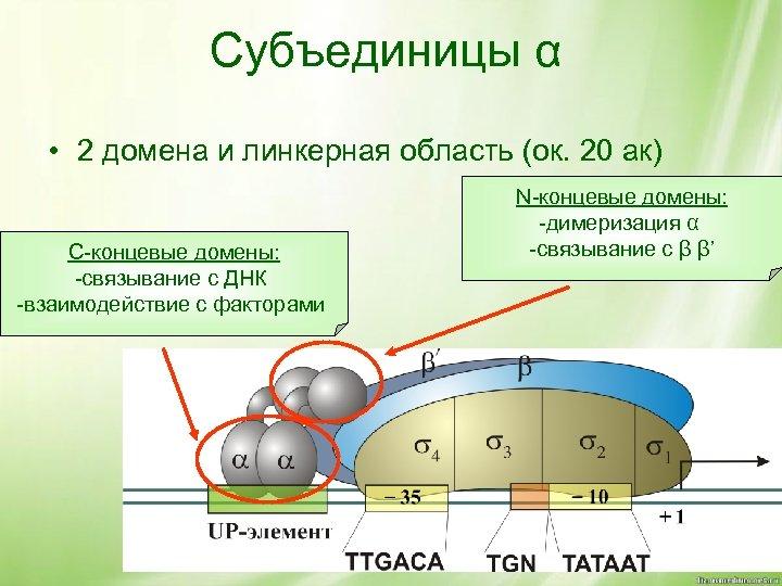 Субъединицы α • 2 домена и линкерная область (ок. 20 ак) С-концевые домены: -связывание