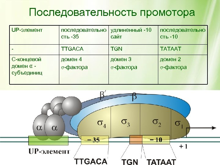 Последовательность промотора UP-элемент последовательно удлиненный -10 сть -35 сайт последовательно сть -10 - TTGACA