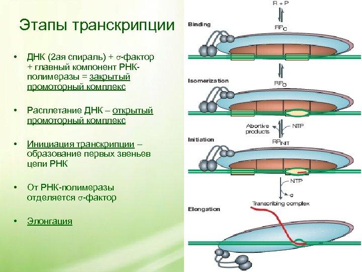 Этапы транскрипции • ДНК (2 ая спираль) + σ-фактор + главный компонент РНКполимеразы =