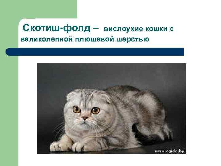 Скотиш-фолд – вислоухие кошки с великолепной плюшевой шерстью
