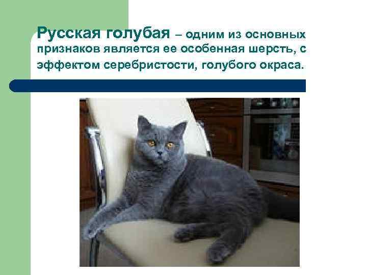 Русская голубая – одним из основных признаков является ее особенная шерсть, с эффектом серебристости,