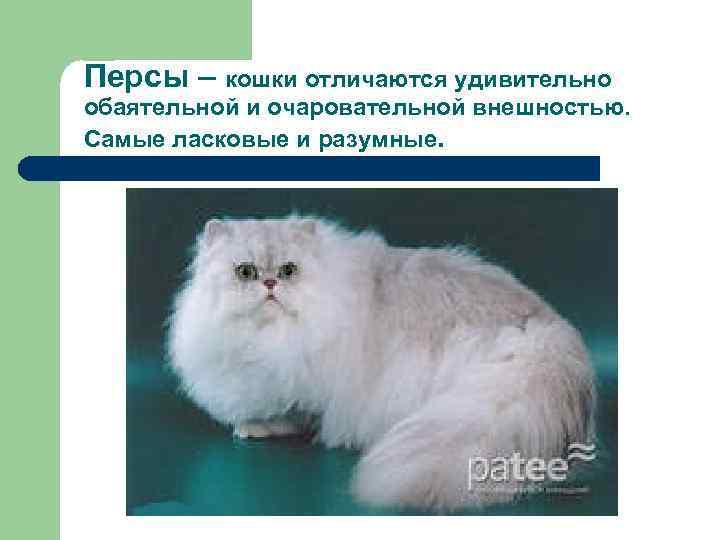 Персы – кошки отличаются удивительно обаятельной и очаровательной внешностью. Самые ласковые и разумные.