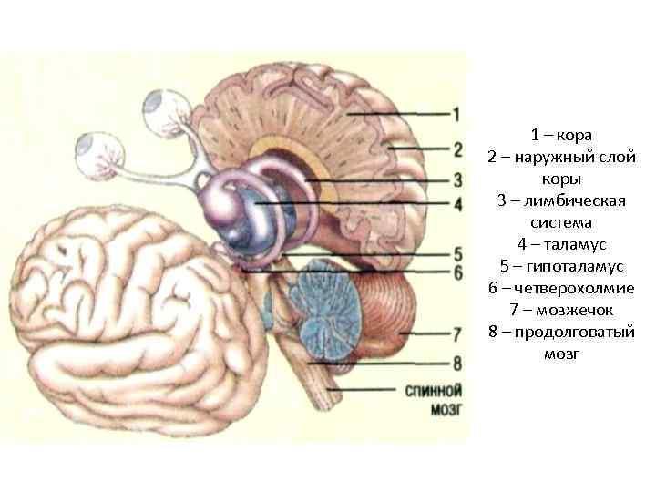 1 – кора 2 – наружный слой коры 3 – лимбическая система 4 –