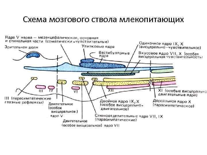 Схема мозгового ствола млекопитающих