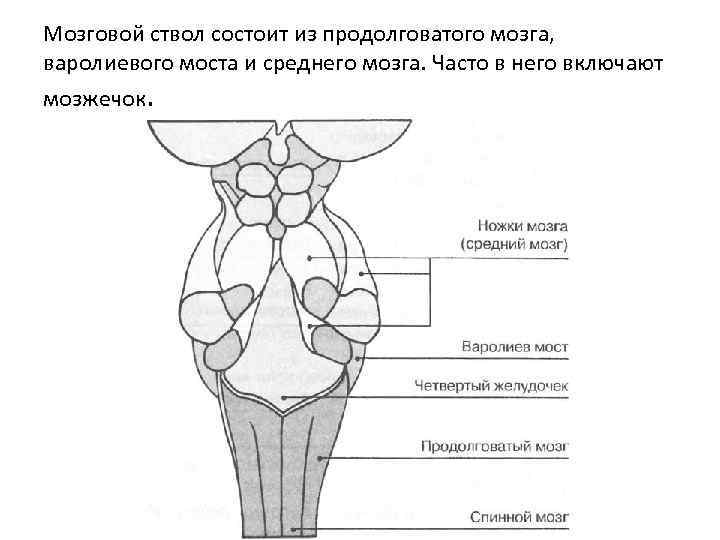 Мозговой ствол состоит из продолговатого мозга, варолиевого моста и среднего мозга. Часто в него