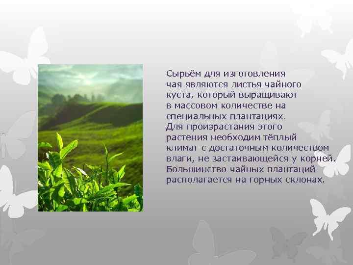Сырьём для изготовления чая являются листья чайного куста, который выращивают в массовом количестве на