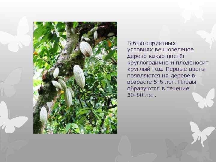 В благоприятных условиях вечнозеленое дерево какао цветёт круглогодично и плодоносит круглый год. Первые цветы