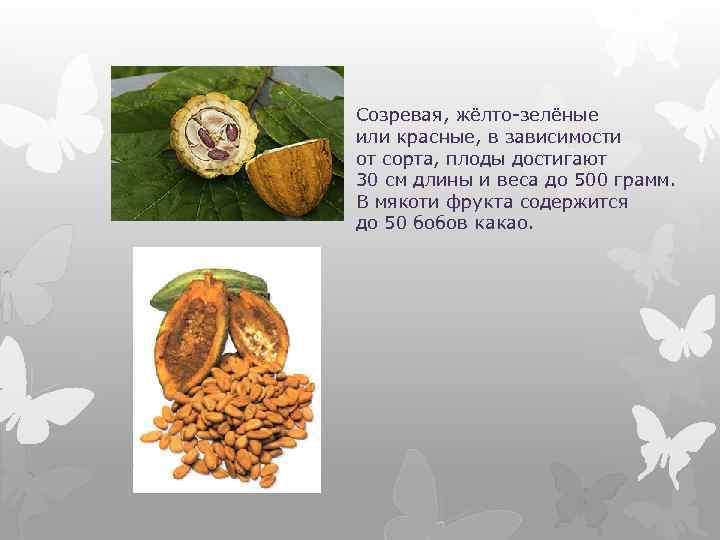 Созревая, жёлто-зелёные или красные, в зависимости от сорта, плоды достигают 30 см длины и