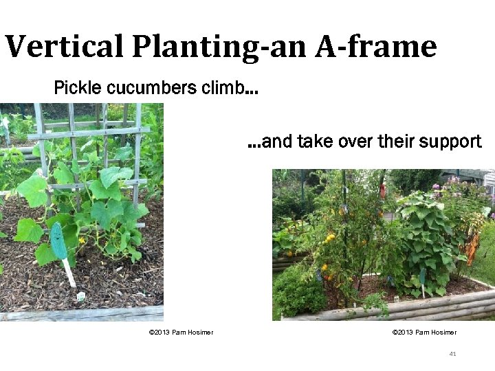 Vertical Planting-an A-frame Pickle cucumbers climb… …and take over their support © 2013 Pam