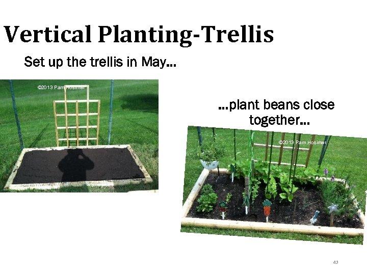 Vertical Planting-Trellis Set up the trellis in May… © 2013 Pam Hosimer …plant beans