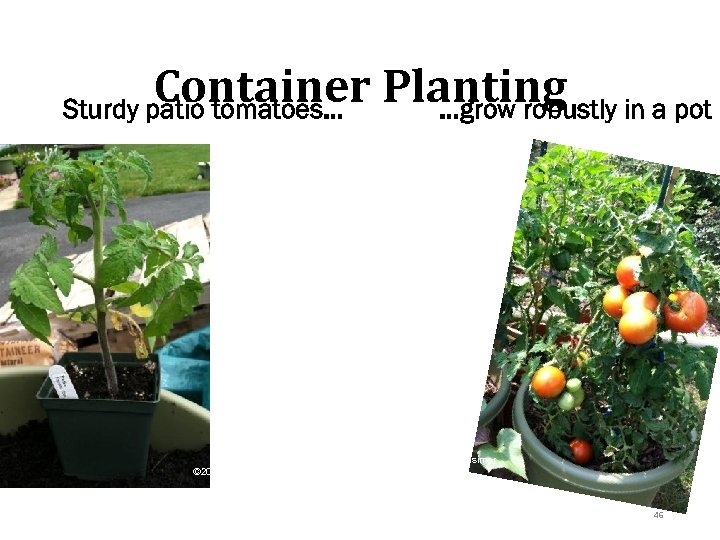 Container Planting in a pot Sturdy patio tomatoes… …grow robustly © 2013 Pam Hosimer
