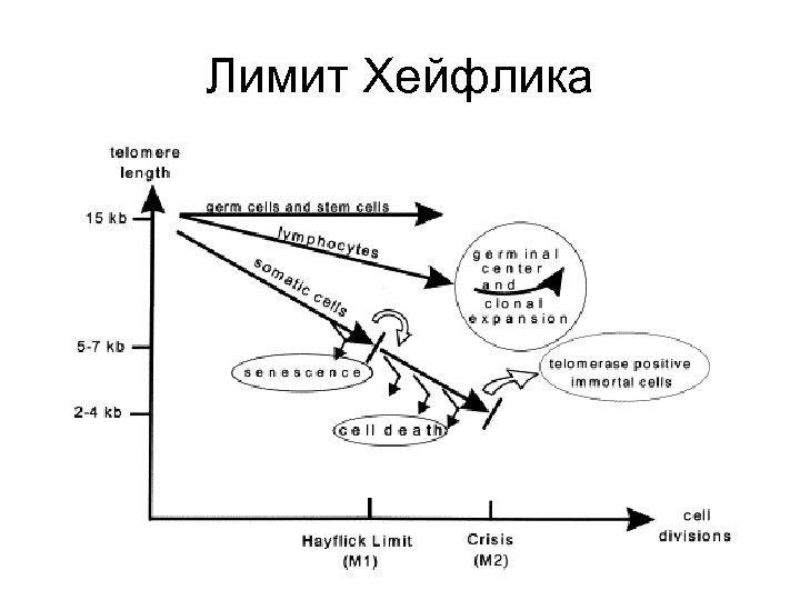 Лимит Хейфлика